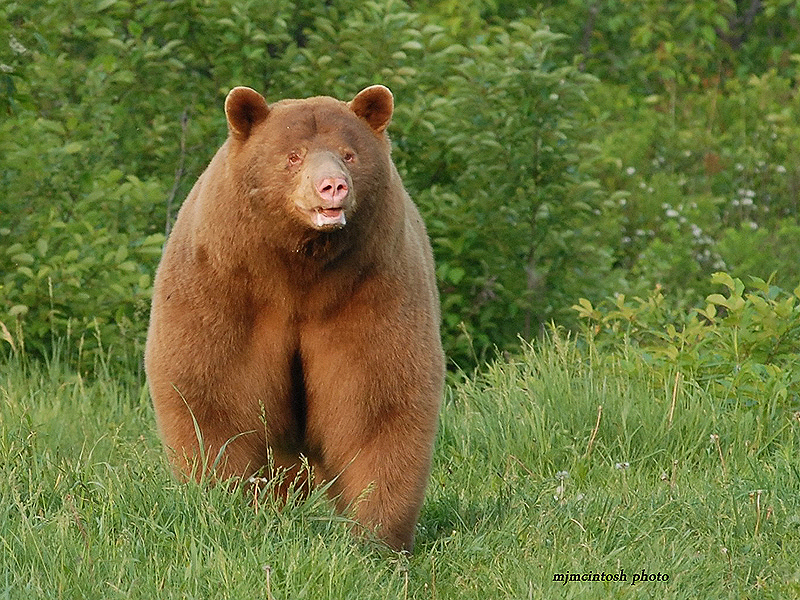 american black wise about bears