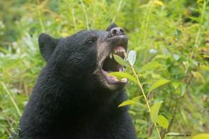 bear-Victory,Aug-26-2013,D80_7364