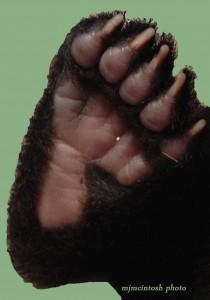 bear cub foot,D200,IMG_0032