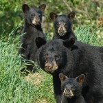 bear-family-profile-pic,web,mjm,