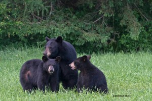 bear mom,yearling cubs,June 3,2013,D80_4396
