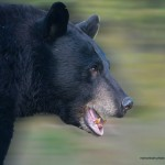 bear-photo,web