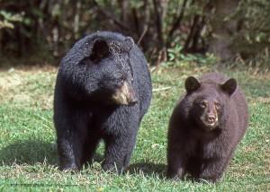 bear,cub,Sepr,1999,img051