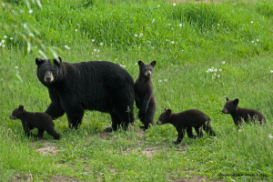 bear,mamma,4-cubs,June-8-2014,D200,DSC_0055