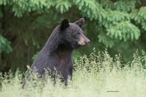 bear,young,June-15-2014,D805871
