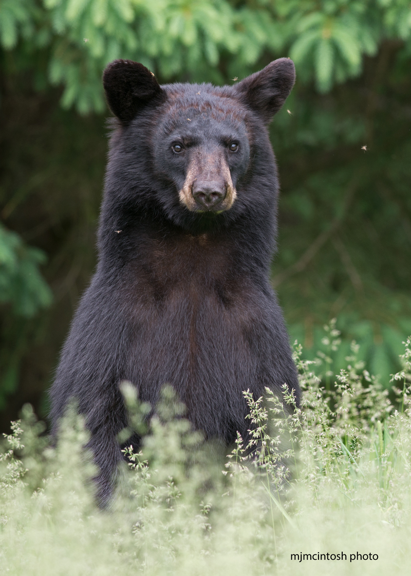 Are bears dangerous wise about bears answer is no bearyoungbjune 15 2014d805862 biocorpaavc Choice Image