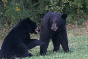 cub,yearlings-play,cousins,Aug-21-2013,iso-3200,D80_7145