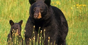 Understand Bear Behavior