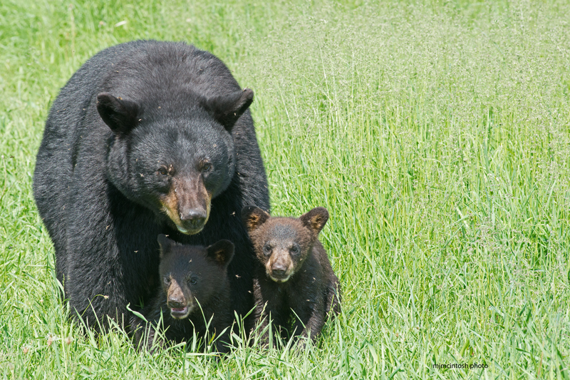 A Mother Bear And Her Cubs Wise About Bears