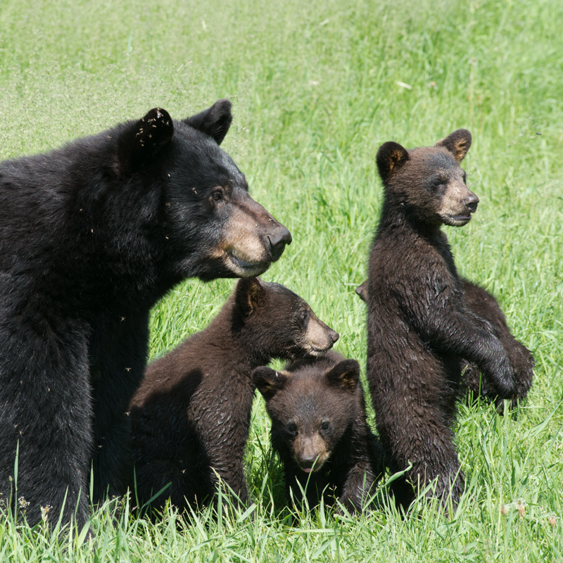 Funny Brown Bear Family With Blank Sign Stock Illustration ... |Funny Black Bear Family