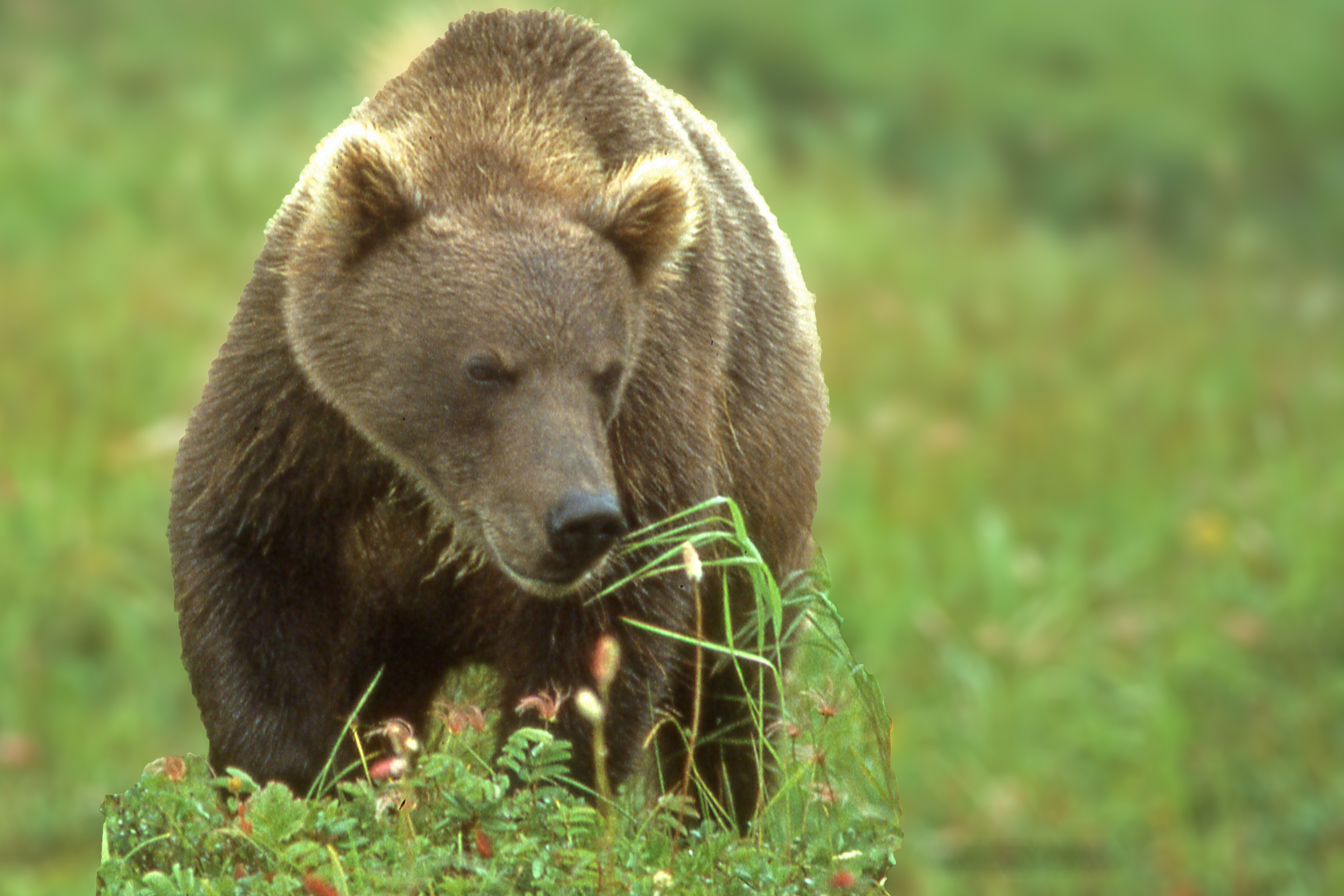 bears - photo #49