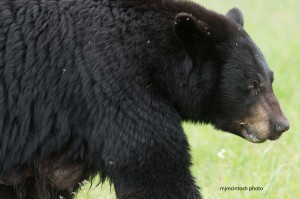 bear,mamma,croppd,web,june-16-2014,D805810