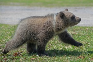 grizzly cub d, April 26 2013,D80_3176