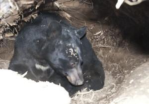 D200,-Feb-21,-2011,-bear-de
