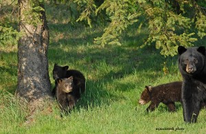 bear and cubs,May 15 2012, momma and cubs3 D200 056 - Copy