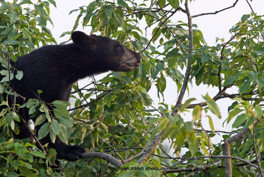 bear cub in tree,c July 2012,,D80_3365_edited-1 - Copy