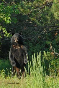 bear,big male,a,June 2012,D200,094  - Copy