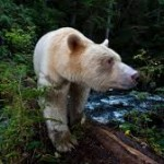bear,kermode,paul nicklen