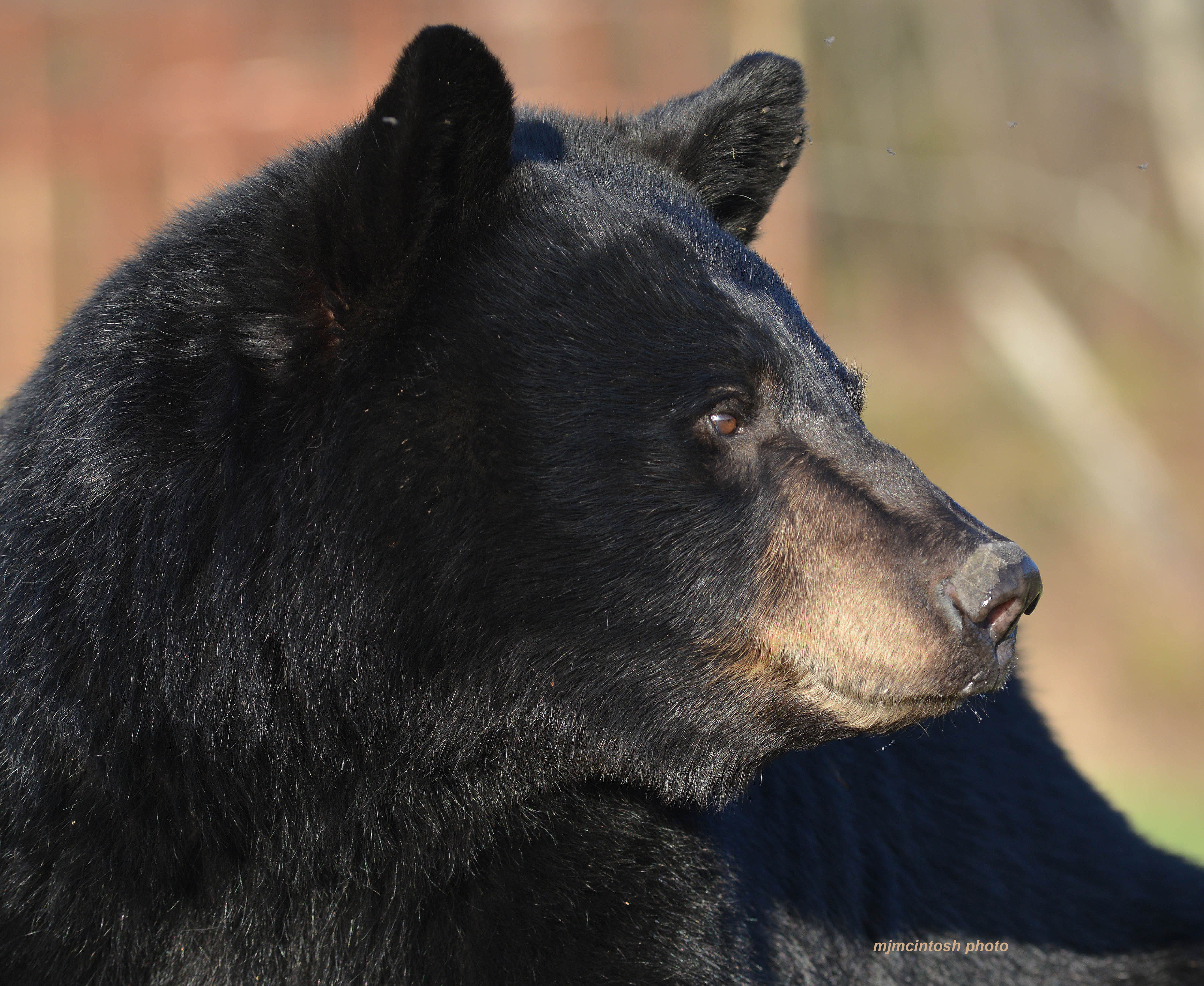 A Bears Quest for Food   Wise About Bears