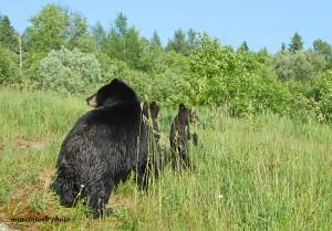 bear,momma,cubs,June 17,2010,D200,140 - Copy