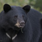 bear,momma,young,Aug.7,2012,cropped,D80_4564  - Copy