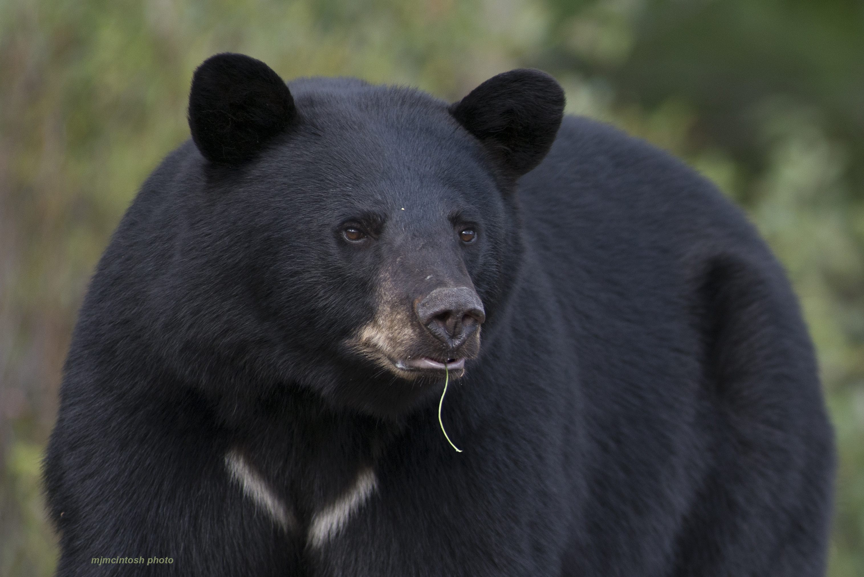Black Bear Ecology | Wise About Bears - photo#25
