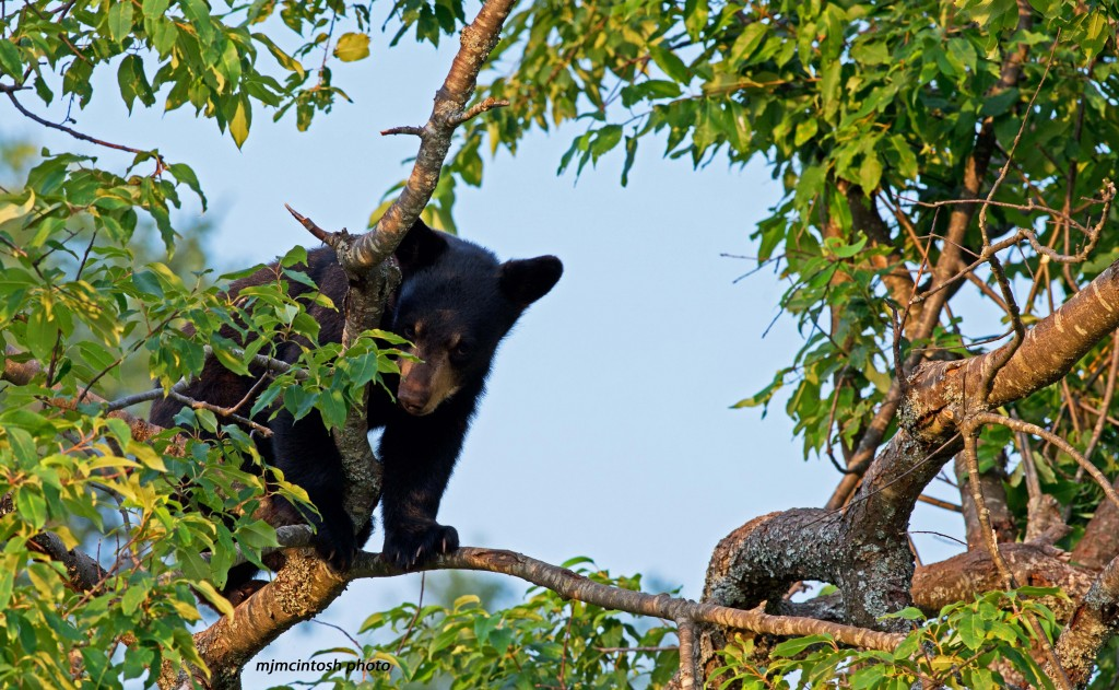 cub in tree, July 2012,D80_3369